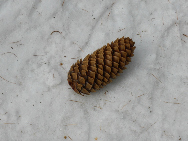 Pine cone in the Monal forest