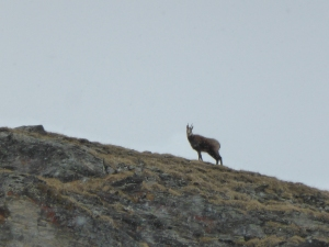 Chamois above the Chardonnet bowl