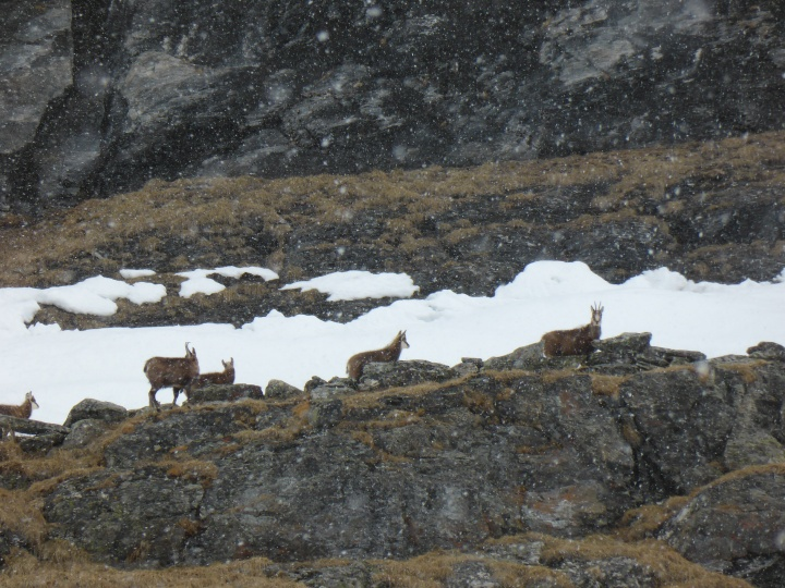 Small herd of chamois above the Chardonnet bowl
