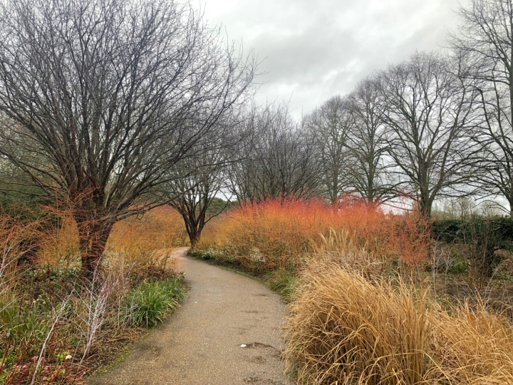 The main path at Anglesey Abbey, lined with Cornus, grasses, Prunus serrula, Sarcococca and Rubus