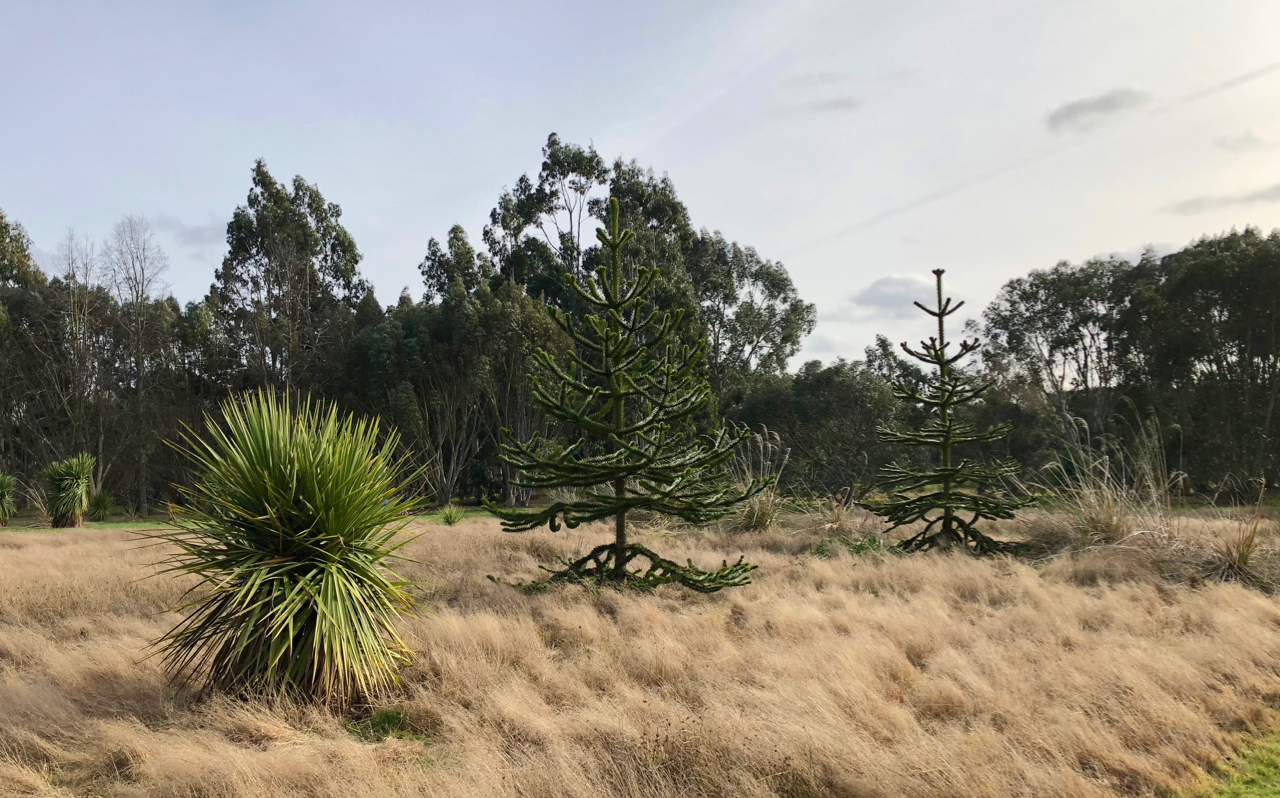 Araucaria in Gondwanaland, Marks Hall, Essex