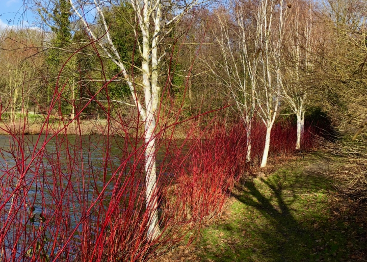 Birches_and_cornus