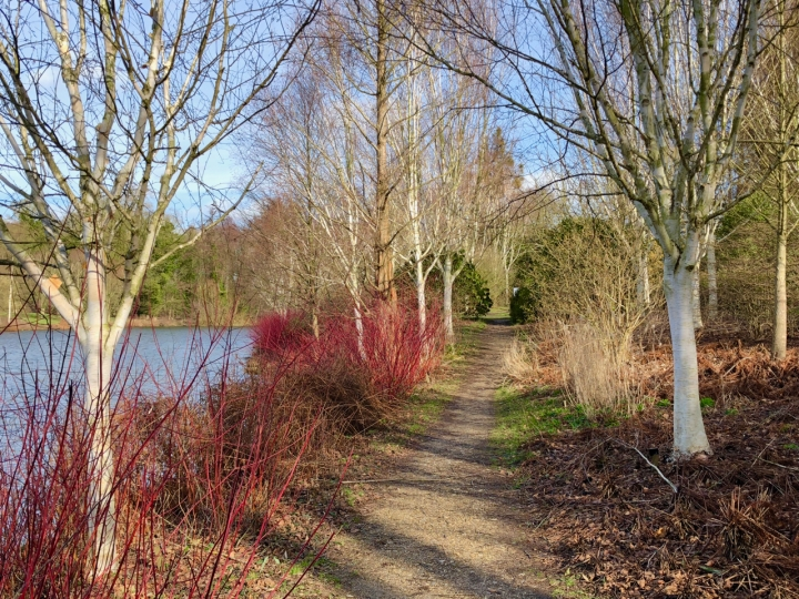 Birches_and_cornus_path