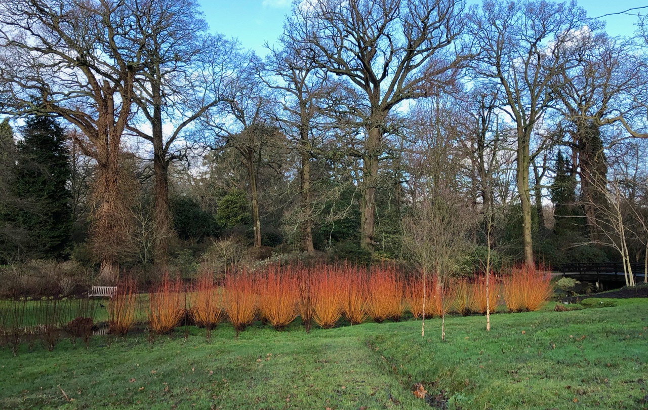 Row of vivid tangerine pollarded willows