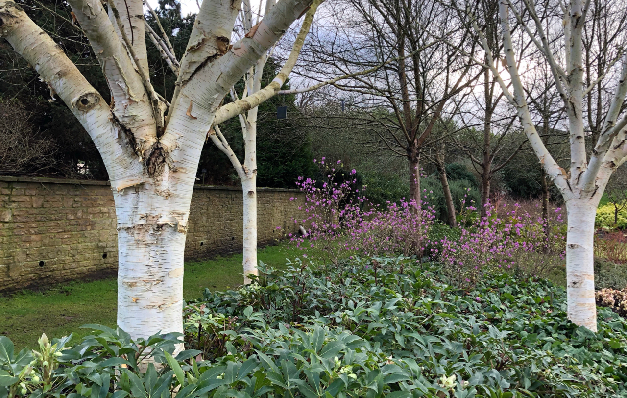Betula utilis 'Silver Shadow' and Rhododendron dauricum 'Midwinter'