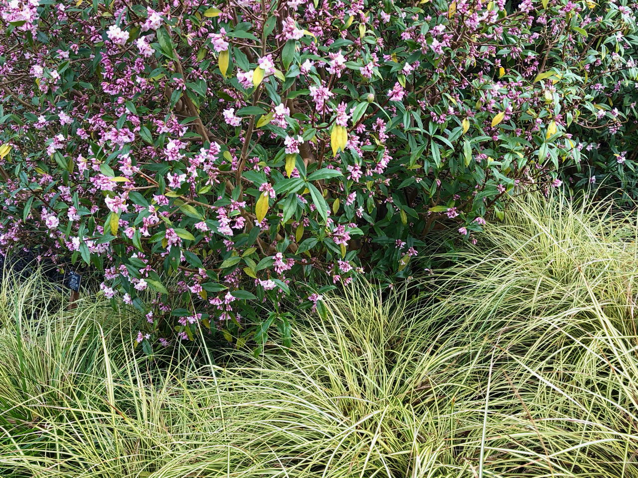 Carex oshimensis Evergold wrapping around a Daphne bohlua Jacqueline Postiill