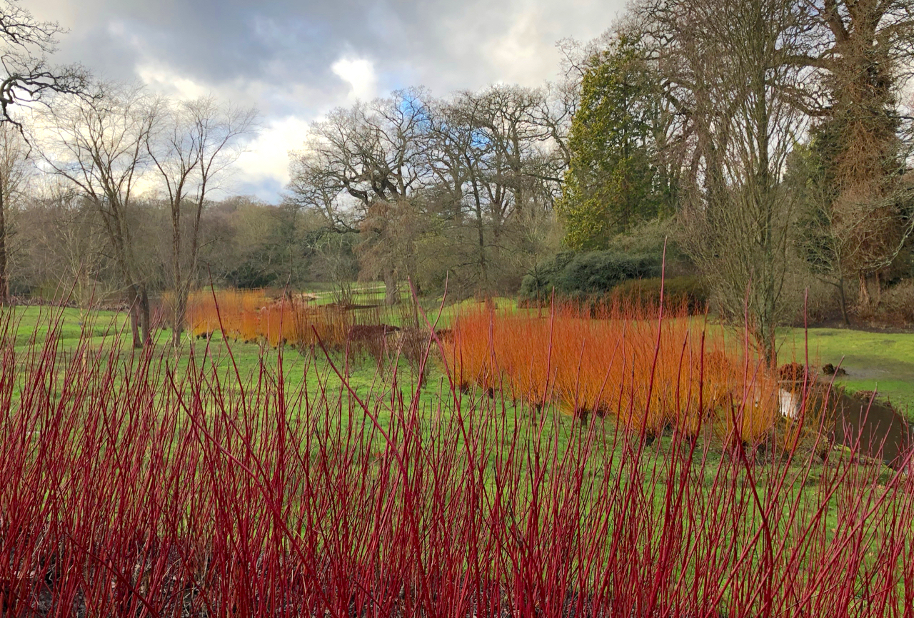 Red cornus and bright orange willows lighting up the banks in the bog garden