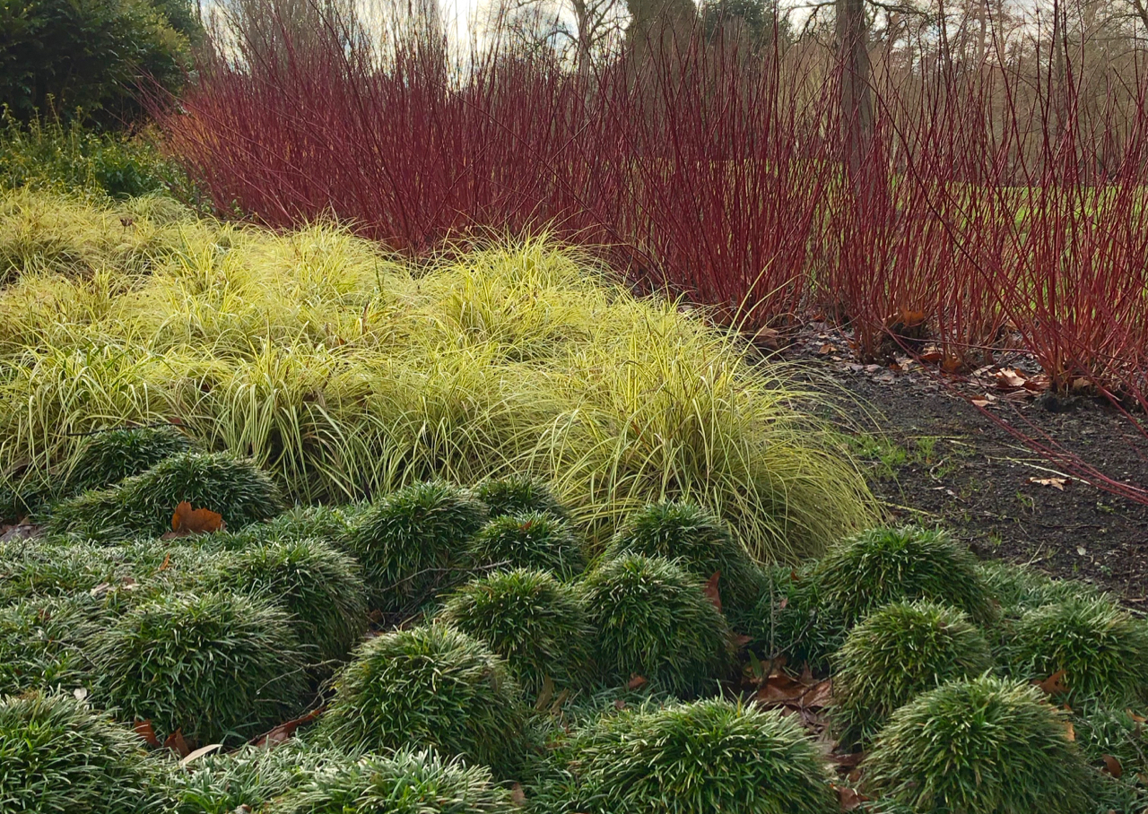 Attention seekers: Ophiopogn japonicus, Carex oshimensis Everillo and Cornus alba Sibirica