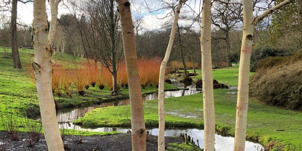 Looking through the stems of Himalayan birches to the stream and bog garden