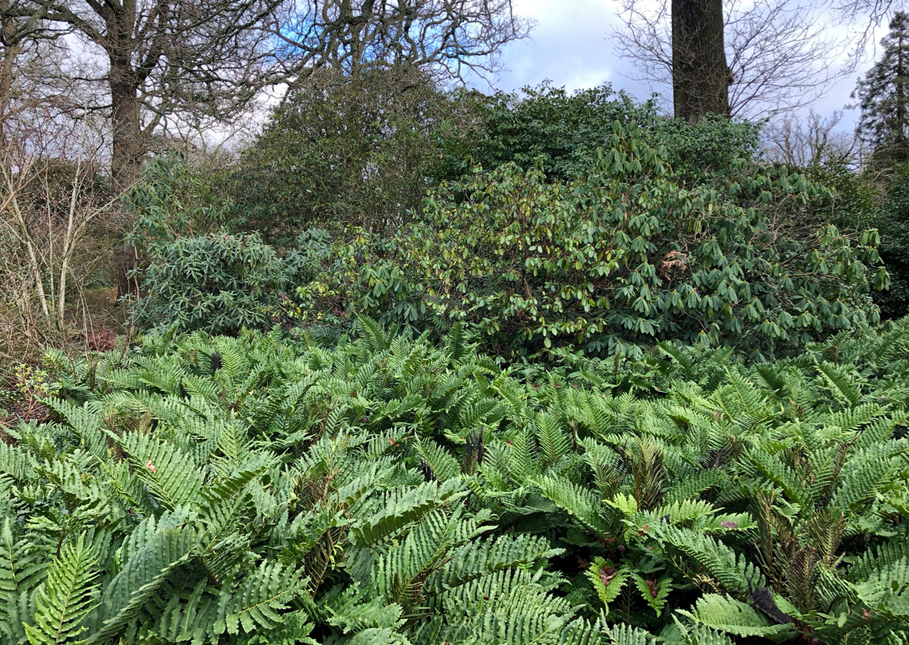 Blechnum and Rhododendon in the woodland