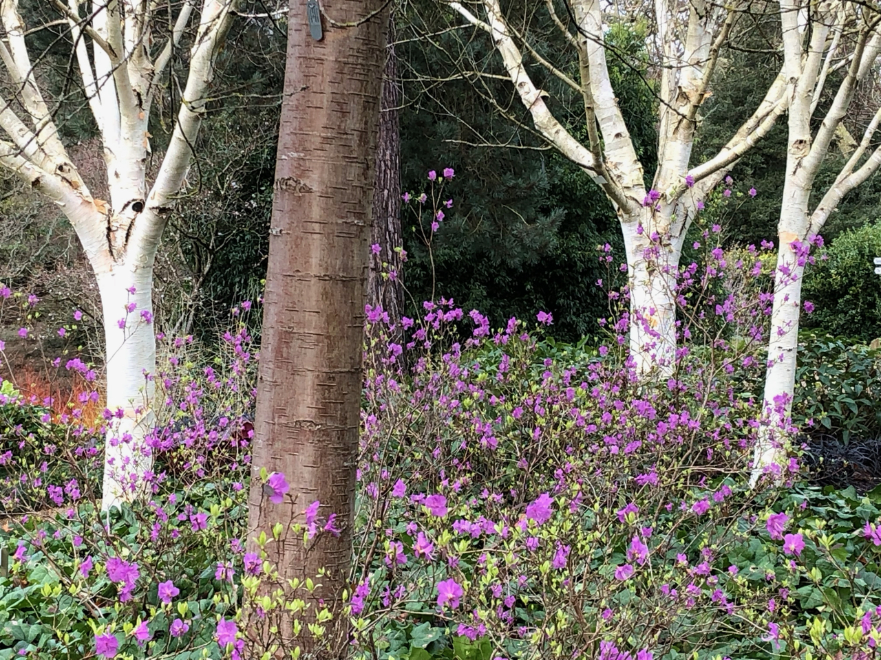 Himalayan birches and winter-flowering rhododendron
