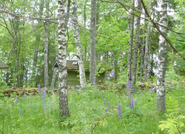 Woodland feel: birches, aspen, lupins, and ferns at Valamon monastery, Finland