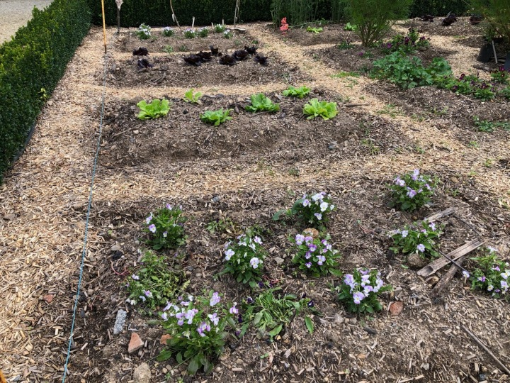 Potager Colbert: violas and lettuces - that might end up on the same plate