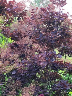 Cotinus 'Royal Purple' showing off its deep maroon-red foliage