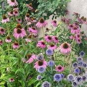 Echinacea x purpurea 'Magnus'