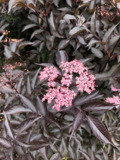 The pink blooms of Sambucus nigra 'Black Lace floating over the plant's purple foliage